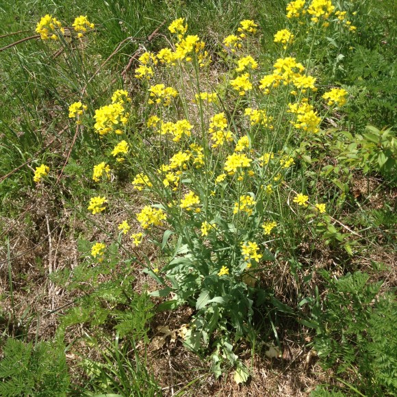 Wild mustard spices up our spring salad